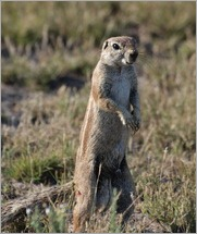 Ground Squirrel, Central Kalahari