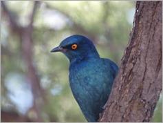Starling, Central Kalahari