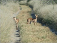 Steenbok, Central Kalahari