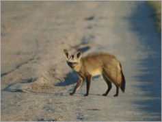 Bat-eared fox, Central Kalahari