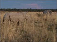 White Rhino, Khama Rhino Sanctuary