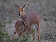 Steenbok, Khama Rhino Sanctuary