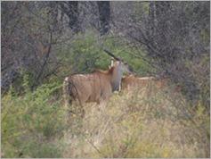Eland, Khama Rhino Sanctuary