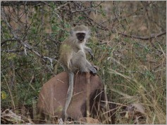Vervet monkey, Kruger National Park