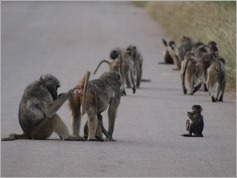 Baboon, Kruger National Park