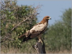 Tawny Eagle, Kruger National Park