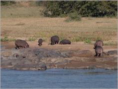 Hippos, Kruger National Park