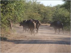 Buffalo, Kruger National Park