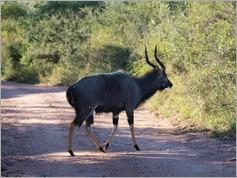 Nyala, Kruger National Park