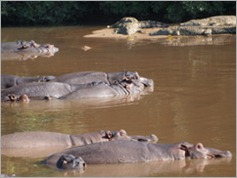 Hippos and crocs, Kruger National Park