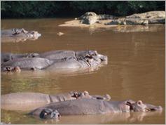 Hippos and crocs, Kruger National Park