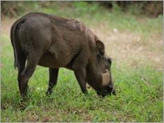 Warthog, Gorongosa National Park