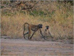 Baboon, Gorongosa National Park