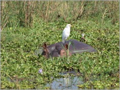 Hippo and Great Egret, Liwonde National Park