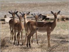 Impala, Vwarza Marsh Wildlife Reserve
