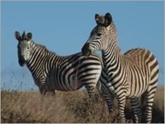 Crayshaws Zebra, Nyika National Park