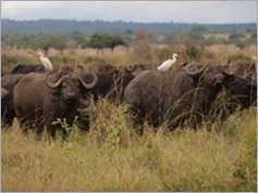 Buffalo, Mikumi National Park