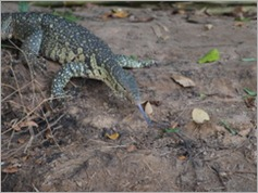 Monitor Lizard, Selous