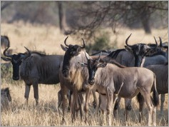 Wildebeest, Tarangire National Park