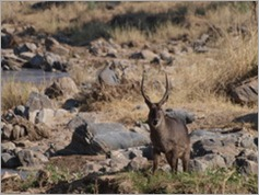 Waterbuck, Tarangire National Park