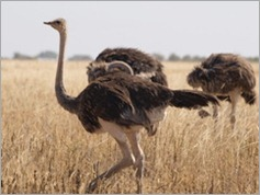Ostrich, Tarangire National Park