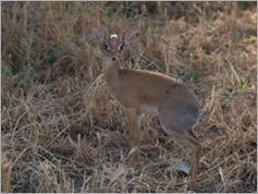 Dik-dik, Tarangire National Park