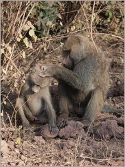 Baboon, Lake Manyara National Park