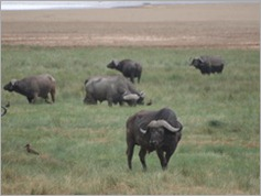 Buffalo, Lake Manyara National Park