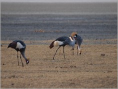 Gray Crowned Crane, Ngorongoro Crater
