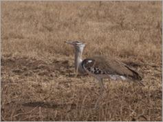 Kori Bustrard, Ngorongoro Crater