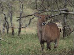 Defassa Waterbuck, Serengeti National Park