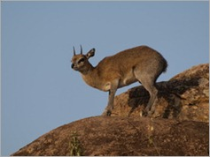 Klipspringer, erengeti National Park