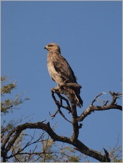 Tawny Eagle. Serengeti National Park