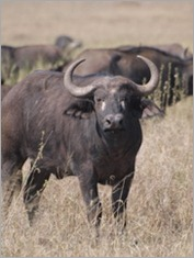 Buffalo, Serengeti National Park
