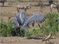 Marabou, Stork, Serengeti National Park