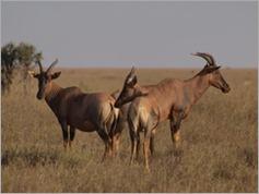 Topi, Serengeti National Park