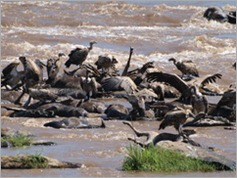 Dead wildebeest in the Mara River, Masai Mara