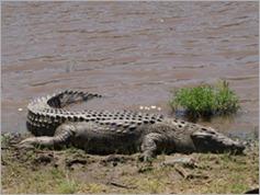 Crocodile, Masai Mara