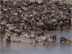 Wildebeest & Zebra migration across the Mara River, Masai Mara