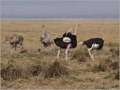Ostrich, Amboseli National Park
