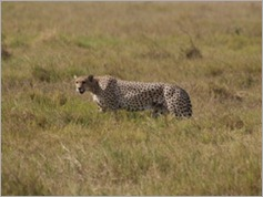 Cheetah, Amboseli National Park