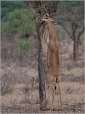 Gerenuk, Samburu National Park