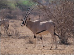 Beisa Oryx, Samburu National Park