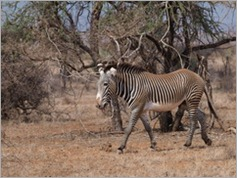 Grevy's zebra, Samburu National Park