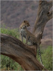 Leopard, Samburu National Park