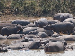 Hippos across from camp, Luambe National Park