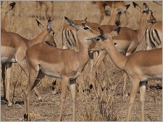 Impala, South Luangwa National Park