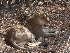 Lion, South Luangwa National Park