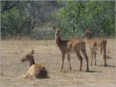 Puku, Kafue National Park