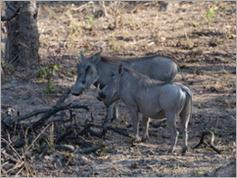 Warthog, Kafue National Park